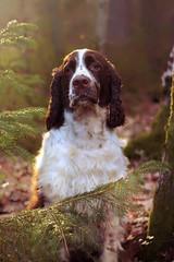 Bellman :) (kaksfotokonto) Tags: nature skog hund dog springerspaniel engelskspringerspaniel