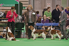Diary_2016_034 (evinrisca) Tags: crufts welsh springer spaniel dogshow wsscsw