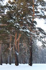 Winter trees (man_from_siberia) Tags: trees tree winter january snow siberia деревья снег зима январь сибирь canon eos 200d dslr canoneos200d canon200d canonrebelsl2 tamron tamronspaf1750mmf28xrdiiild tamron1750mmf28