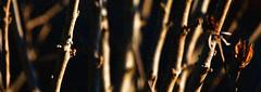 19-02-24 sidelit zweig dünn text _dsc1255 (ulrich kracke (many thanks for more than 1 Mill vi) Tags: c6 sidelit sonnenaufgang textur vertikale zeichen zweigdünn cof055 naturesidelit cof055john cof055mari cof055dmnq cof055radm