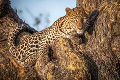 Bold Lady Leopard (helenehoffman) Tags: africa conservationstatusvulnerable africanleopard leopard lewawildlifeconservancy kenya pantheraparduspardus animal mammal feline panthera bigcat cat felidae coth coth5