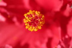 IMG_0483 Hibiscus (Fernando Sa Rapita) Tags: baleares mallorca sarapita canon canoneos eos1300d sigma sigmalens macro flor flower red rojo hibiscus nature