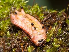 Schmetterlingsraupe, Limacodidae (Eerika Schulz) Tags: schmetterlingsraupe caterpillar limacodidae ecuador puyo eerika schulz