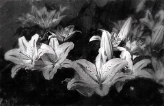 Lily Patch (kinglear55) Tags: flower blackandwhite monochrome lily panasonic lx7 art photography adobe elements impressionism