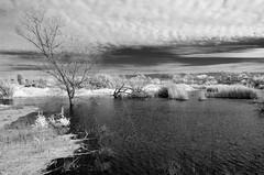 SEEING infraRED:  Madrona Marsh (rikioscamera) Tags: 590nm ir madronamarsh torrance bw blackandwhite d7000 infrared landscape lifepixel lightroom monochrome nature nikon silverefexpro marshland