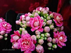 Minis....005 (adioslunitaadios) Tags: miniflores plantasyflores flores airelibre campo jardín pétalos pétalosrosa fujifilm macro viverosalegre