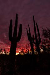 Saguaros At Sunset (Ed Cheremet) Tags: arizona canon60d edcheremet mesa mesaarizona saltriver tontonationalforest arizonasunset cactus cactusdetail clouds desertsunset fineartamerica landscape saguaro saguarocactus sunset weather