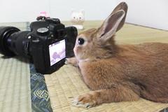 Ichigo san 1521 (Errai 21) Tags: いちごさん ichigo san  ichigo rabbit bunny cute netherlanddwarf pet うさぎ ウサギ いちご ネザーランドドワーフ ペット 小動物 1521