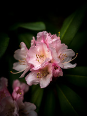rhododendron's time (marinachi) Tags: rhododendron spring pink green lowkey flower flowers bud bush black sundaylights