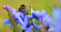 honey bee on alpine squill 1/4 (conall..) Tags: scilla bifolia alpine squill scillabifolia alpinesquill nikon afs nikkor f18g lens 50mm prime primelens nikonafsnikkorf18g closeup raynox dcr250 macro rowallane national trust saintfield walled garden northernireland bee honeybee apis mellifera apismellifera pollination flower head headshot blueflower asparagaceae