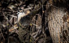 Downy Woodpecker (Iggythump) Tags: policepointpark medicinehat southernalberta southsaskatchewanriver spring muledeer robin