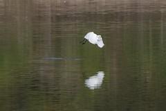 grande aigrette (guy dhotel) Tags: grandeaigrette oiseau vol étang