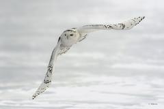 Snowy Owl / Harfang des neiges (shimmer5641) Tags: buboscandiacus snowyowl harfangdesneiges búhonival strigidaefamily arcticowl raptor birdofprey snowyowladultfemale snowyowlimmaturemale