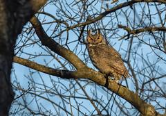 Great Horned Owl. (Estrada77) Tags: greathornedowl owl raptors birdsofprey distinguishedraptors birds birding wildlife spring2019 outdoors kanecounty illinois nikon nikond500200500mm nature mar2019