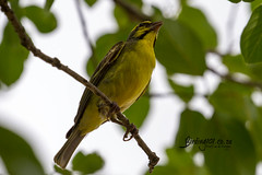 Yellow-fronted Canary, Kruger National Park, Jan 2019 (roelofvdb) Tags: 2019 869 canary canaryyellowfronted date january knp place satara southernafricanbirds year yellowfrontedcanary