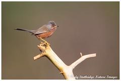 Dartford Warbler on Old Pine Branch (www.andystuthridgenatureimages.co.uk) Tags: