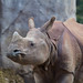 Rhinoceros, San Diego Zoo