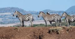 Zebra Overlook (helenehoffman) Tags: africa zebra equidae commonzebra conservationstatusnearthreatened mammal equusquagga foal animal lewawildlifeconservancy kenya plainszebra ngc
