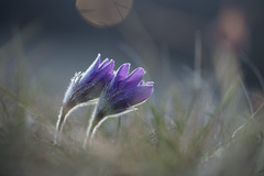 Pasque flower (Daniel Trim) Tags: pasque flower spring nature uk england frosty macro april cold sunrise sun rise night bokeh hertfordshire outdoor serene