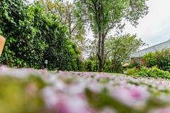 10-Ras du sol (Alain COSTE) Tags: maison nikon pessac sigma20mmf14 fleur herbe jardin pétales gironde france fr