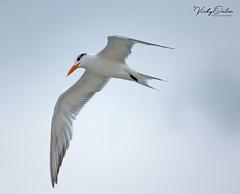 Royal tern (vickyouten) Tags: tern royaltern bird nature wildlife nikon nikond7200 nikonphotography nikkor55300mm miamibeach florida america usa vickyouten