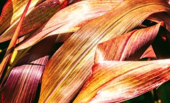 Curved Leaves (pmorris73) Tags: arboretum pennstateuniversity statecollege pennsylvania century 2ca0119 3ca0219 4ca0319 5ca0619 6ca1619 7ca3119 8cc0219