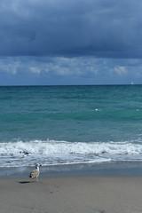 (Comiccreator24) Tags: happynewyear newyearsday landscapephotography landscape simplicity minimalism vertical verticalphoto verticallandscape editedphoto manipulatedphoto january 2019 january2019 1855mm jupiter jupiterflorida jupiterisland jupiterislandflorida jupiterislandfl florida usa floridausa floridaphotographer unitedstates america unitedstatesofamerica sea gull seagull palmbeachcounty palmbeachcountyfl palmbeachcountyflorida beach beachphotography beachlife atlanticocean nikonography nikon nikonphotographer nikondslr dslr digitalphotography digital photo comiccreator24 d7500 nikond7500 nikond7500photographer creativephotography creative photography sailboat waves youngphotographer teenagephotographer ocean