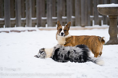 Snow Corgis 1 (Kenjis9965) Tags: sonya7iii sony70200mmf28gm sel70200gm sony a7iii a7 iii 70200 gm 70200mm g master cardigan welsh corgi winter snow playing having fun running ravi luna adorable sweet doggo doge pupper corgo stumper stumps