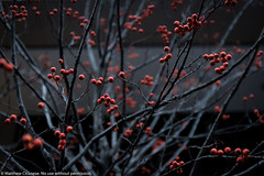 20190119-0018.jpg (Matthew Cicanese) Tags: cicanese matthewcicanese tree winter berries cold red redberries berry fruit fruits branches treebranches street streetphotography