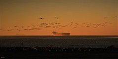 San Pedro Bay--explore (beachpeepsrus) Tags: longbeachcalifornia longbeachgranprix light shore sky sunrise sihlouette shorefront beach birds beachfront blackskimmers rynchopsniger california color