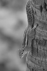 Indian Palm Squirrel, Bangalore, 2019 (b.sourav) Tags: souravbiswas indianpalmsquirrel squirrel animal wildlife nature bangalore karnataka india
