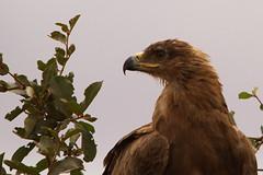 Tawny Eagle (sr667) Tags: magugutanzania magugu tanzania birdofprey tawnyeagle animalia chordata aves accipitriformes accipitridae aquila arapax aquilarapax canon sigma 150500mmf563apodgos 150500mm