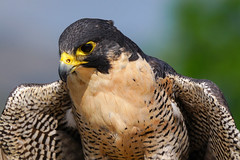 Peregrine Falcon (Bernie Duhamel) Tags: peregrine falcon hawkquest captive bird birdsofprey colorado coloradowildlife wildlife sonya99 sony70400mmg frontrange greatphotographers teamsony rockymountains bearlakepark littleton sunshine