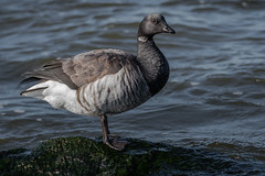 _KEF9986 (Kevin E Fox) Tags: brant goose barnegatlighthousestatepark newjersey bird birding birdwatching birds nature nikond500 nikon sigma150600sport sigma shorebirds shorebird jetty