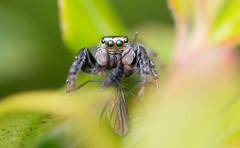 Hoppspindel lunch (silwermannen) Tags: hoppspindel macro nikon d7100 anderstorp sweden sverige spider