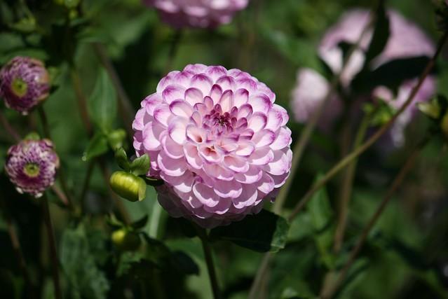 Обои георгина, Боке, Bokeh, Розовый цветок, Pink flower, Dahlia картинки на рабочий стол, раздел цветы - скачать
