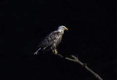 Luey the Luecistic Bald Eagle (Omnitrigger) Tags: leucistic baldeagle eagle raptor birdofprey wildlife nature