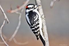 Downy Woodpecker Male (Anne Ahearne) Tags: wild bird animal nature wildlife woodpecker birdwatching downy closeup