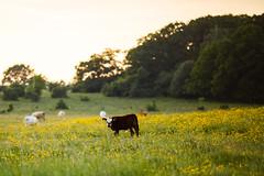 MårtenSvensson_113_3U4A9841 (Bad-Duck) Tags: jordbruk mat bete betesmark ko kor kväll köttdjur köttras sommar
