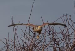 Male Kestrel (Liam Waddell) Tags: bird sky bogside flats sssi irvine ayrshire scotland male kestrel tree bush wood brown