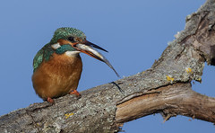 Kingfisher having a meal (Ann and Chris) Tags: kingfisher fish eating wildlife nature sky avian colourful green orange feeding