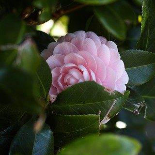 Camellia Pink With my SIGMA DP3 Merrill (1/3)