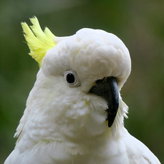 Sulphur-crested cockatoo (Alfredo Sánchez-Tójar) Tags: wildlife australia animals vertebrate vertebrado nature naturaleza