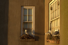 Perfect nesting perch in Scarborough (Tony Worrall) Tags: scarborough yorkshire yorks scene scenery northyorkshire resort yorkshirephotos east eastern seasidetown holidays tourists coast bird seagull nest nesting building roost perch nature wild north update place location uk england visit area attraction open stream tour country item greatbritain britain english british gb capture buy stock sell sale outside outdoors caught photo shoot shot picture captured ilobsterit instragram