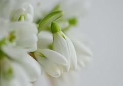 White (Baubec Izzet) Tags: baubecizzet pentax flower bokeh nature flickrunitedaward