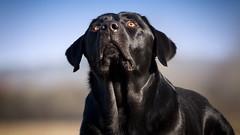 Dear God (uwe.kast) Tags: labrador labradorretriever labradorredriver hund haustier dog bichou panasonic lumix g9