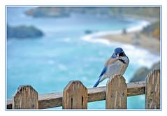 Scrub Jay Enjoying the California Coast (sjb4photos) Tags: california juliapfeifferburnsstatepark bird bigsur pacificocean scrubjay