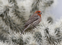House Finch  on Cactus (tomblandford) Tags: housefinch arizonabirding cornelllab audubonbirds finch cactus conservation protecttheenvironment protectpubliclands protectwildlife nature bird