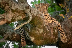 Lazin' Leopard (helenehoffman) Tags: africa kenya pantheraparduspardus felidae mammal conservationstatusvulnerable cat feline africanleopard leopard bigcat maasaimaranationalreserve animal
