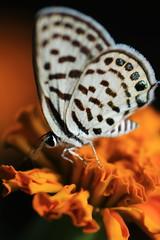 Pretty little things..... (S. Sanam) Tags: butterfly blacknwhite insect flower marigold garden orange spring explored macro bokeh